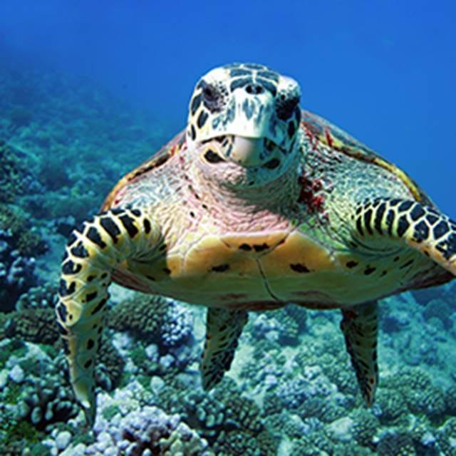 Каретта черепаха